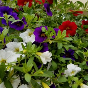 million bells  Calibrachoa x hybrida