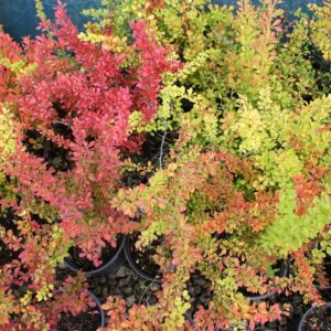 berberis mix