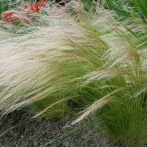 stipa tenuissima fountain ponytails